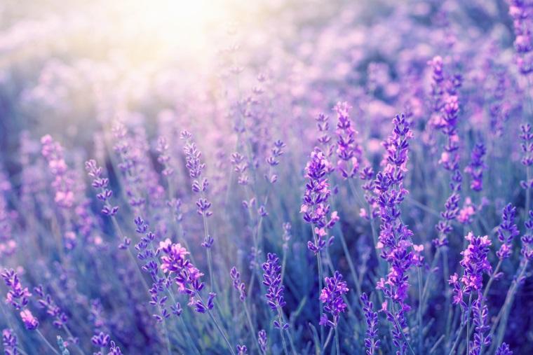 A castigat pariul cu agricultura cultivand aEURzaur movaEURs. Plantatia de levantica Provence, afacerea de succes a unei tinere din Vrancea