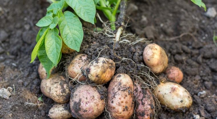 Un fermier din Lunguletu livreaza de 12 ani cartofi pentru chips-urile LayaEUR(TM)s
