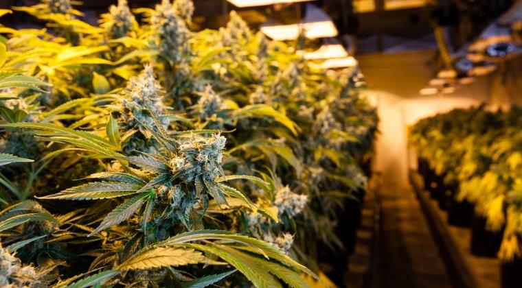 Cultura de cannabis descoperita intr-un solar, in Valcea