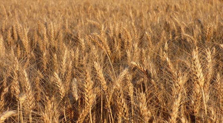 Vesti proaste pentru fermierii romani. Graul la cel mai mic pret din ultimul deceniu