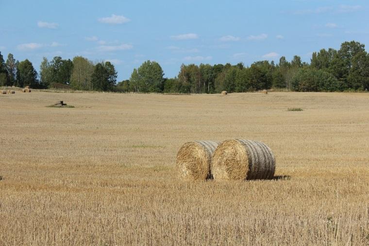 """Problema in agricultura: pretul graului a scazut sub 600 de lei tona, iar al porumbului aEUR"""" sub 700 de lei"""