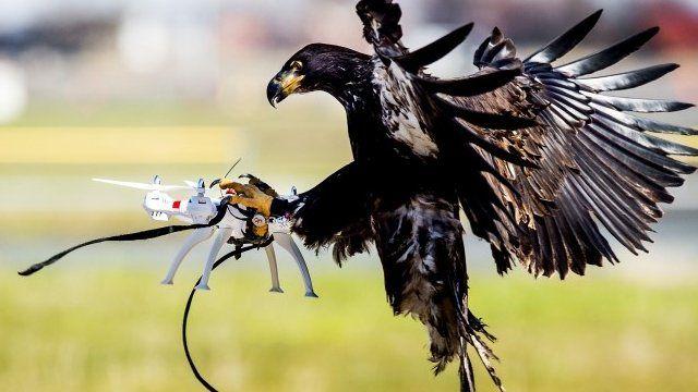 Vulturii anti-drone, folositi dupa teste de succes