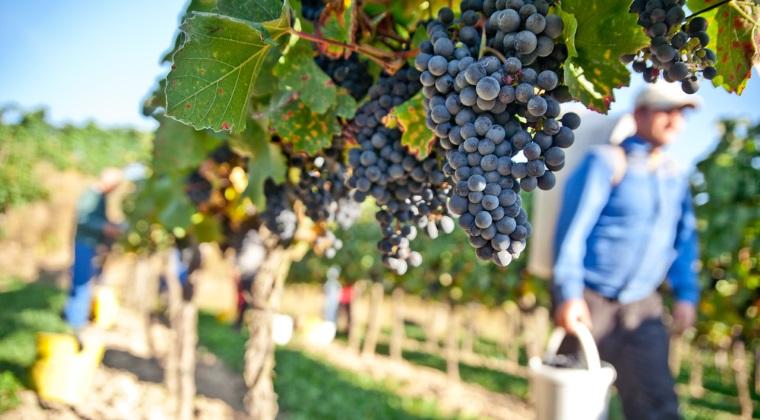Productie de 4 mil. hectolitri de vin in acest an. Forta de munca sezoniera, principala problema