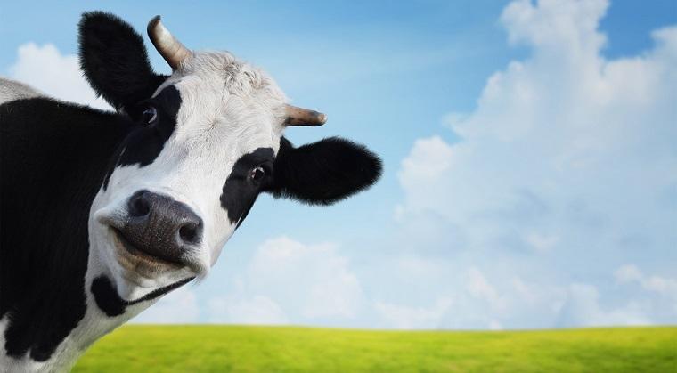 Crecatorii de bovine vor primi intre 89 si 93 de euro in plus pentru fiecare animal