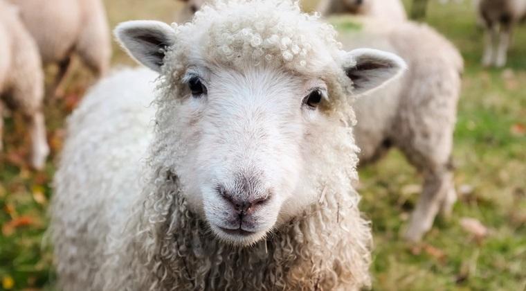 Ministrul Agriculturii: Sunt 12 milioane de oi in Romania, putem face 12 milioane de plapumi pentru saraci