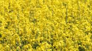 Rapita, aurul din agricultura: suprafata semanata in acest an va ajunge la 460.000 de hectare