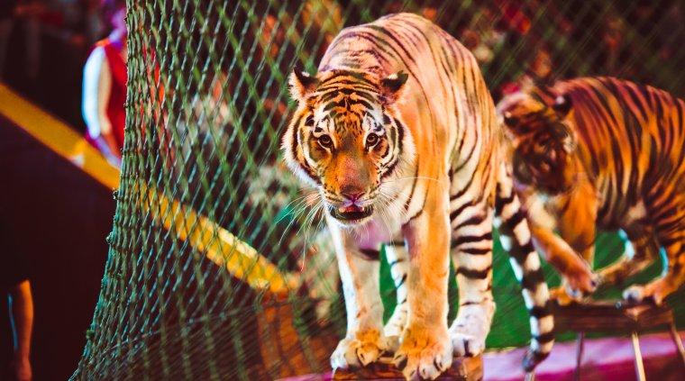 Animalele salbatice sunt interzise de astazi la circ, in Romania