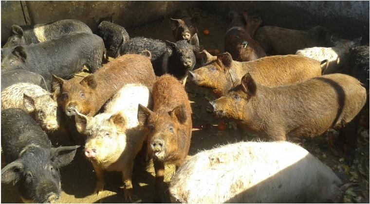 tratament porci mici