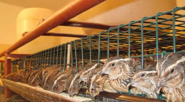 ferme de prepelite pentru oua