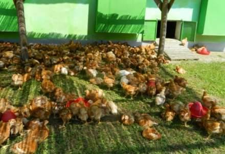Agricola Bacau: Nu exista pui injectati in Romania. Este o perceptie falsa indusa de presa