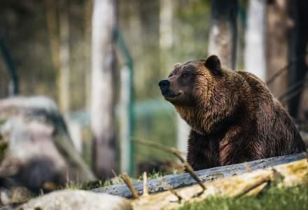 Ministrul Mediului a aprobat uciderea ursilor din zona Baile Tusnad