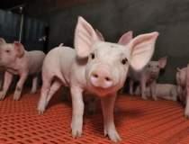 Pesta porcina lasa peste...