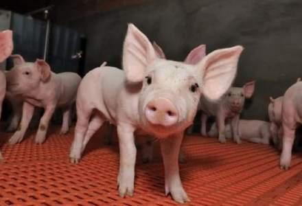 """Pesta porcina lasa peste 1.000 de romani fara un loc de munca. Reactia autoritatilor - """"extrem de tardiva si ineficienta"""""""
