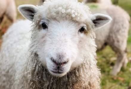 Dupa porci, si oile sunt afectate de o boala extrem de periculoasa. Daea ne indeamna sa nu fim negativisti