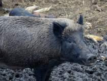 Virusul pestei porcine,...