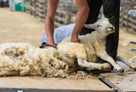 Creste sprijinul financiar de la stat acordat crescatorilor de ovine pentru comercializarea lanii