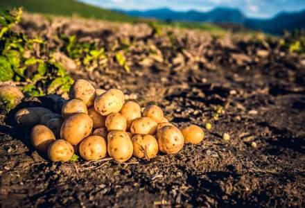 Cartofii au revolutionat agricultura si economia