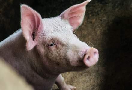 China creste porci de dimensiunea ursilor polari, pentru a face fata cererii de carne