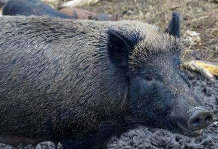 Numarul de focare de pesta porcina se apropie de 1.000 de cazuri in 291 de localitati