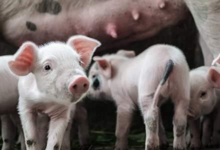 România înregistrează 532 de focare de pestă porcină africană în 243 de localităţi