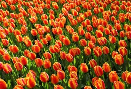 COVID-19 | Pandemia afectează piața FLORILOR în Olanda: mii de lalele sunt distruse
