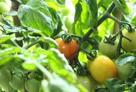 Consecințele Brexitului | Fără muncitorii români şi din alte state est-europene, fructele şi legumele din Marea Britanie vor rămâne pe câmp