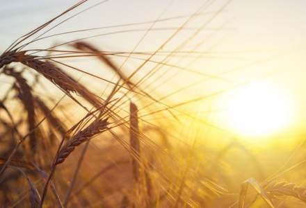 Efectul COVID-19 | Preţurile porumbului au înregistrat o scădere moderată, iar cele ale grâului au rămas pe o creştere uşoară
