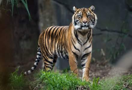 Un tigru de la o grădină zoologică din New York, testat pozitiv cu noul coronavirus