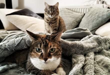 Pisicile se pot infecta cu noul coronavirus și sunt extrem de vulnerabile, în timp ce câinii nu pot lua virusul