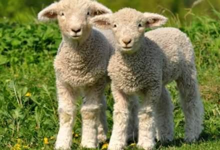 Ciobanii vor să taie mieii în ferme și sa îi vândă la porți, pentru a evita piețele