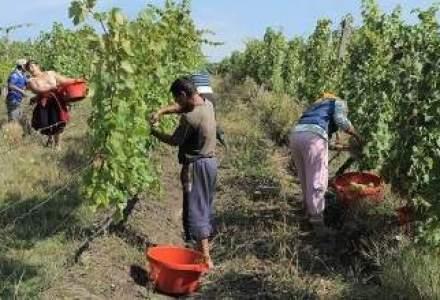Record pe piata vinului: Romania va avea anul acesta cea mai mare productie de struguri din ultimii 3 ani