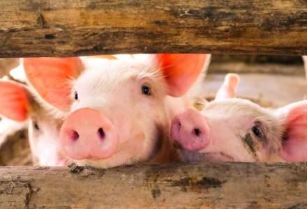 ANSVSA: 280 de focare de pestă porcină africană, în 153 de localităţi