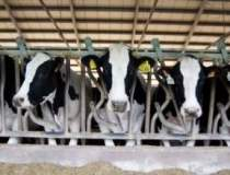 Cantitatea de lapte de vaca a...