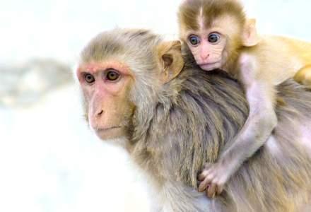 Universitatea Oxford, paşi repezi spre un vaccin anti-COVID. Testele pe maimuţe şi-au arătat eficienţa