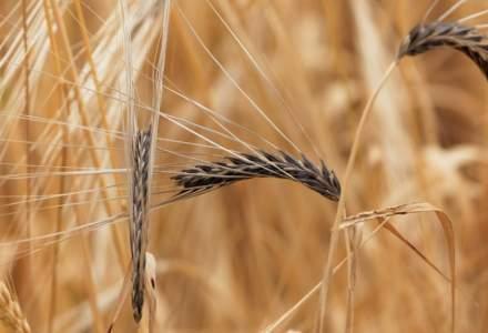 Ministrul Agriculturii: Producţia de grâu din acest an ar putea fi de 5 - 5,5 milioane de tone