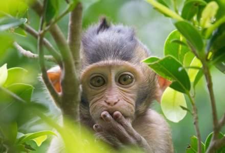 India: Maimuțele au atacat un medic și au furat recolte de sânge de la pacienți infectați cu noul coronavirus