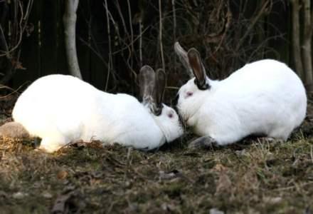 Cat de repede intra pe profit o afacere cu iepuri