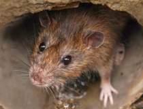 Un șobolan folosit la...