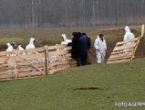 Epidemia de gripa porcina...