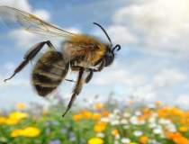 Albinele, ajutorul care face...
