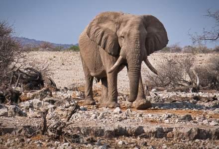 Namibia a scos la vânzare peste 150 de elefanți din cauza secetei