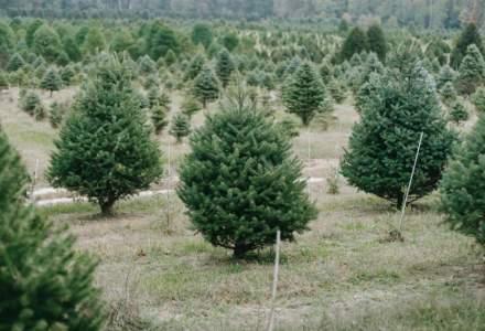 Brazi de Crăciun ieftini: Romsilva pune în vânzare 42.624 de exemplare