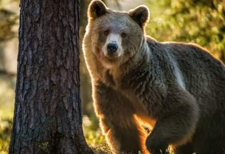 Turist pe schiuri, urmărit de un urs pe pârtia Clăbucet