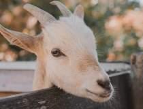 Închiriatul de capre și lame...