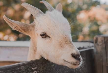 Închiriatul de capre și lame în ședințele pe Zoom, o afacere tot mai populară