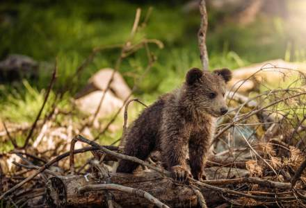 Ministrul Mediului, despre urșii scoşi din bârlog: E inadmisibil ceea ce s-a făcut acolo