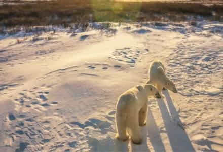 Cât de mult sunt afectați urșii polari de topirea ghețarilor