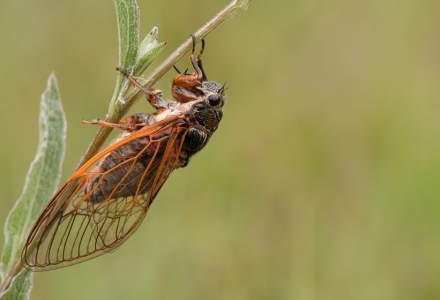 SUA: Un roi imens de cicade va ieși la suprafață