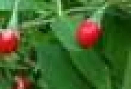 Un bucurestean a infiintat o plantatie de goji bio in Brasov: Este o investitie de lunga durata, cu profituri peste asteptari