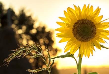 România rămâne și în 2020 cel mai mare producător de floarea-soarelui din UE